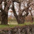 柳坂曽根の櫨並木貫禄